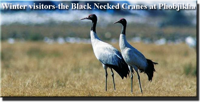 Black Necked Cranes at Phobjikha